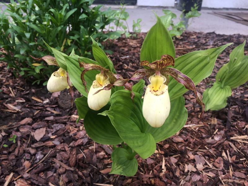 садовая орхидея KENTUCKY MAXI
