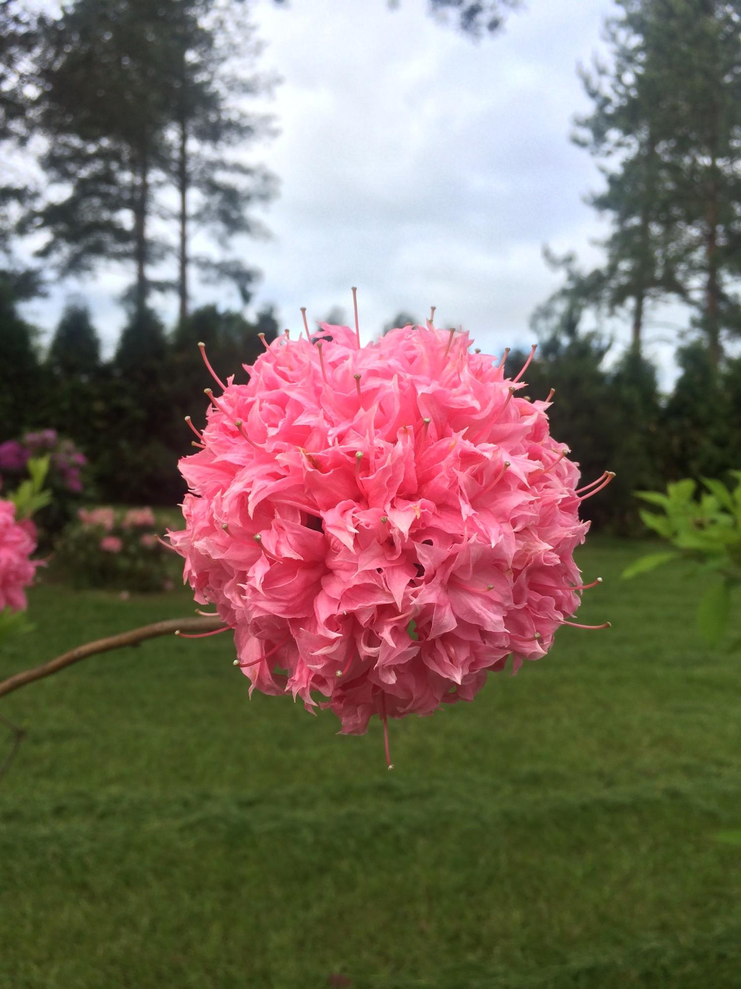 Азалия - декоративные растений в сад