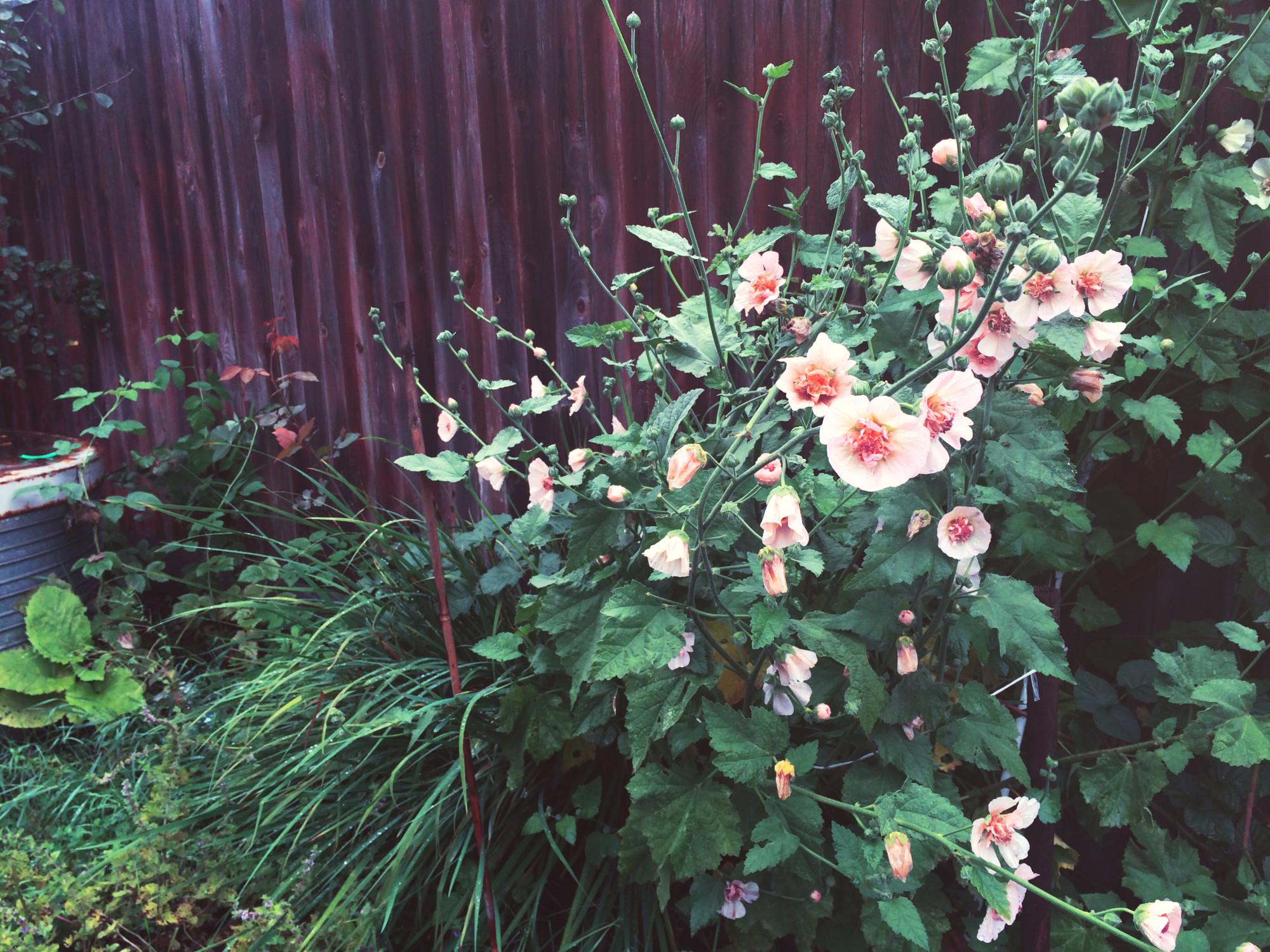 Мальва или шток-роза