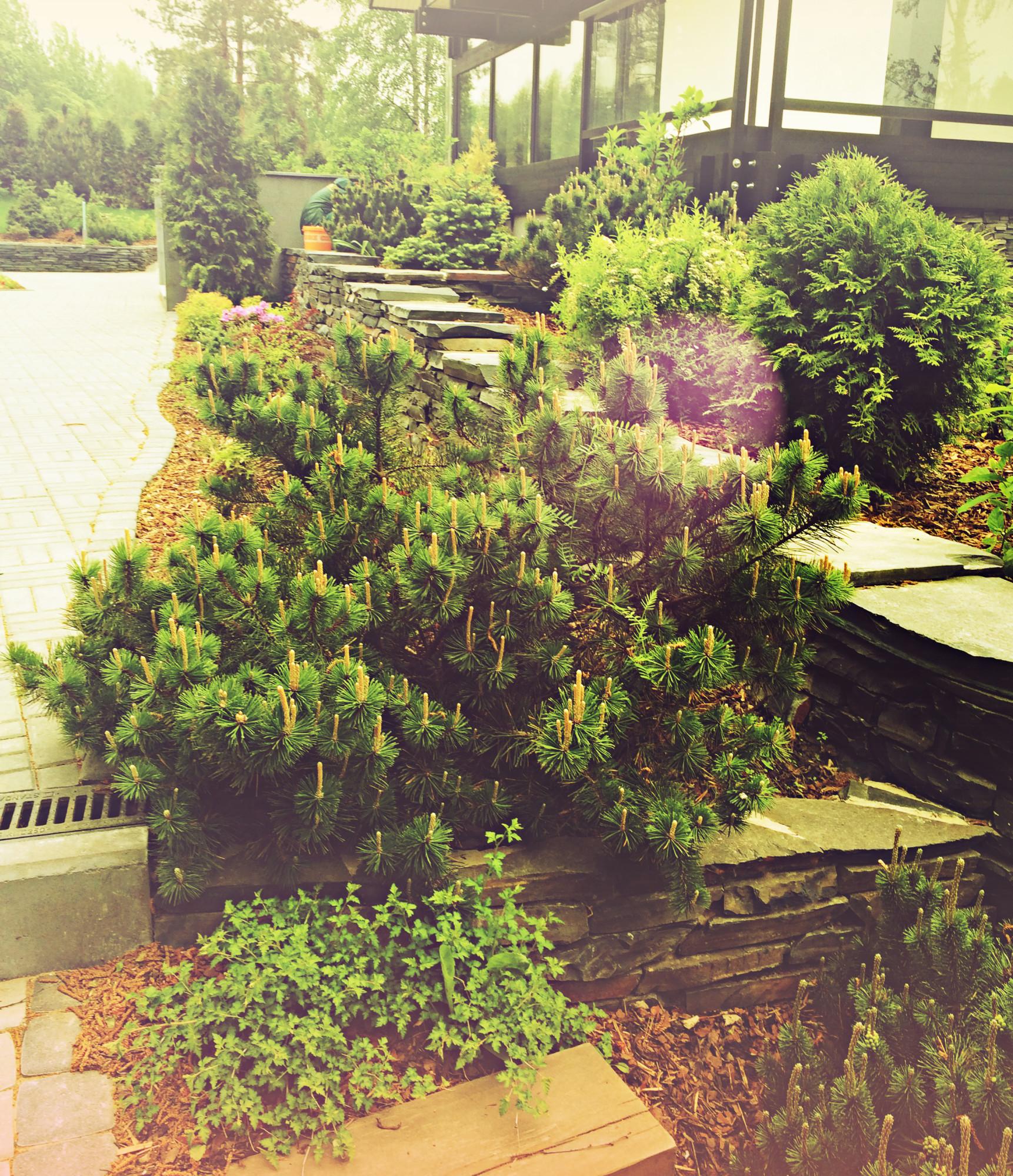 хвойные растения в дизайне сада